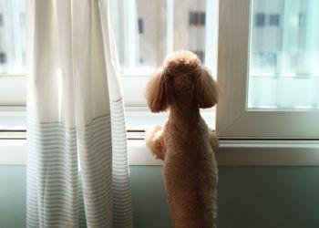 Seu cachorro está com ansiedade de separação?