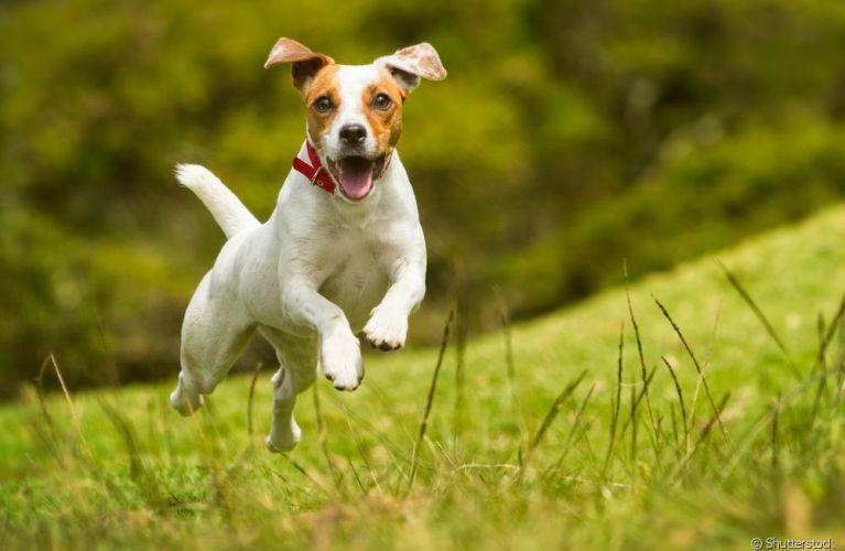 Border Collie e Jack Russell Terrier são cheios de energia e amam aventura