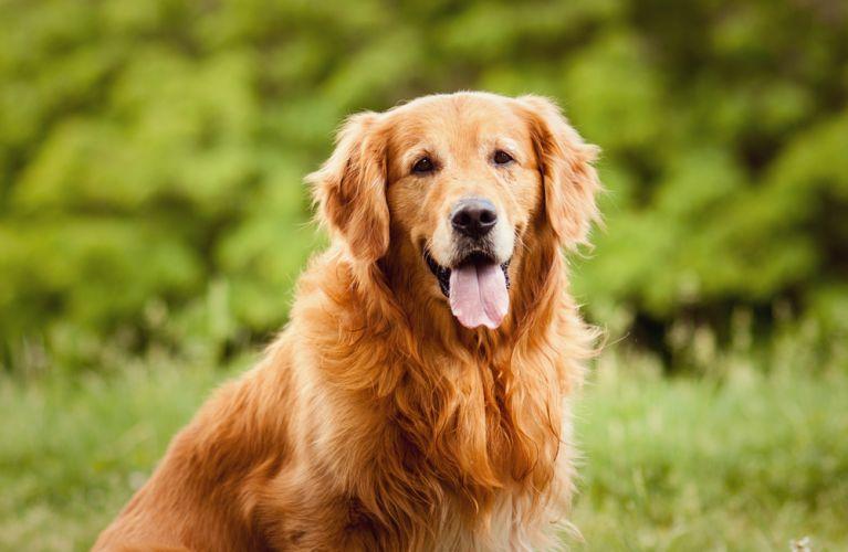 Golden Retriever e Yorkshire são cães que gostam de curtir a companhia dos humanos
