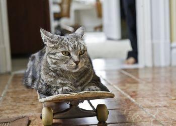Descubra o perfil do seu gato de acordo com o interesse dele por sachê