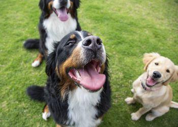 Seu cachorro é mais dominante ou submisso?