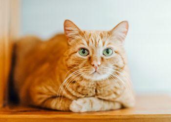 Teste seus conhecimentos sobre a saúde de gato!