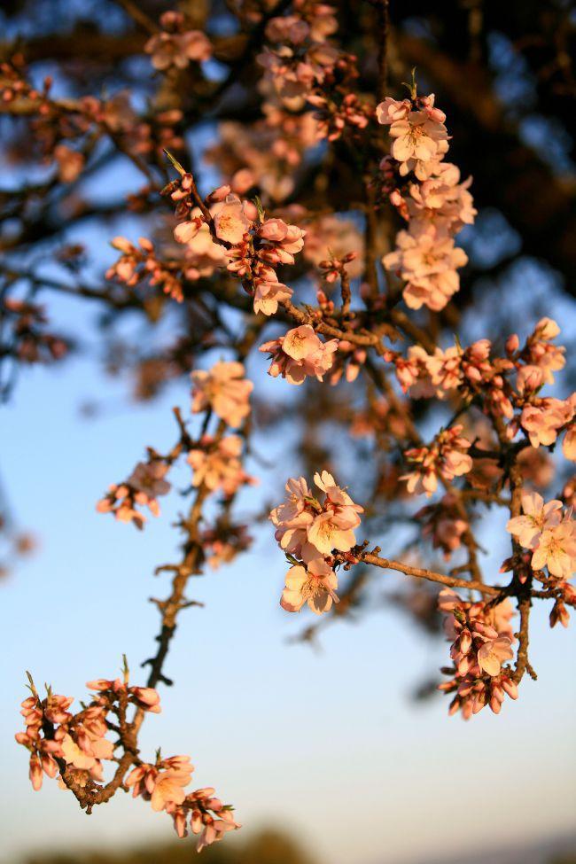 Das Comeback der Mandelbäume der Provence