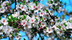 Der Mandelbaum ist wieder in seine provenzalische Heimat zurückgekehrt