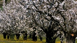 Spaziergang unter blühenden Kirschbäumen