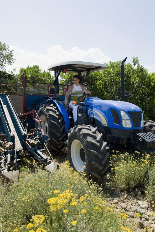 Hinter den Kulissen der Immortelle Ernte auf Korsika