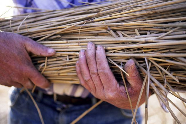 The reed cutters of Camargue