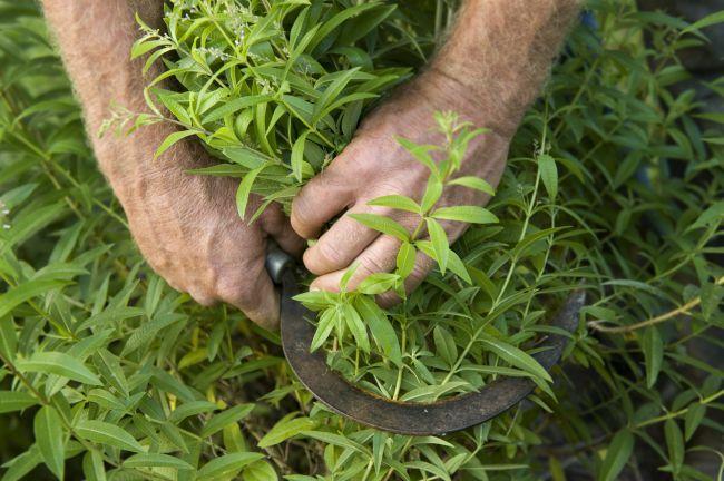 Verbena Harvest