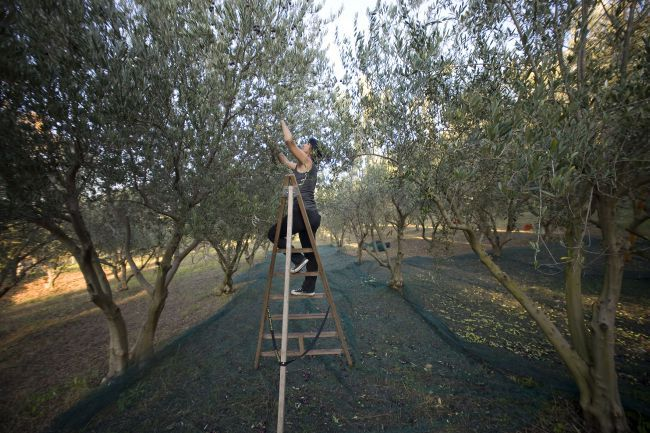 Harvest in the olive groves