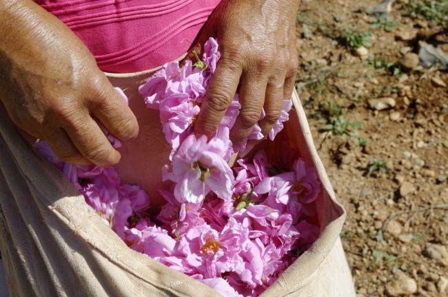 Exhibition « Secrets of the Rosa Centifolia »