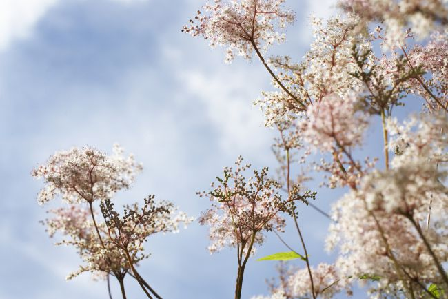 Meadowsweet, an emblem of flawless beauty