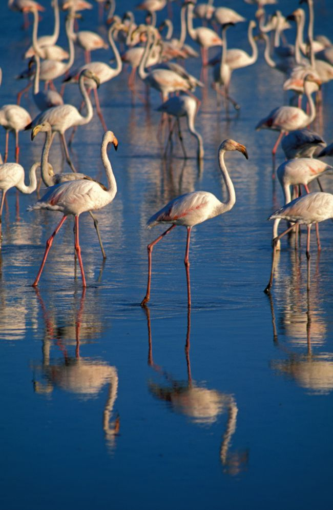 Pink Flamingos Emblems of the Camargue Landscape
