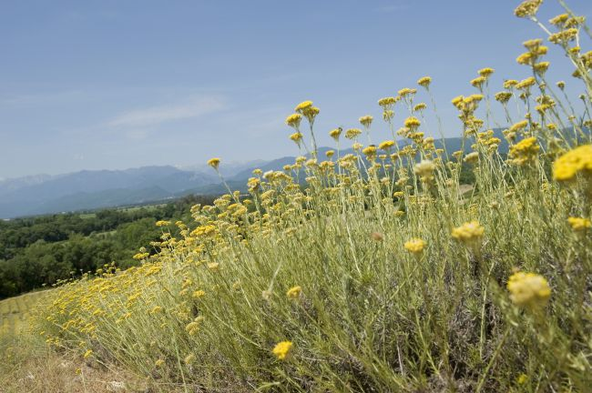 Ten Years Already For The Immortelle Flower Planting Program
