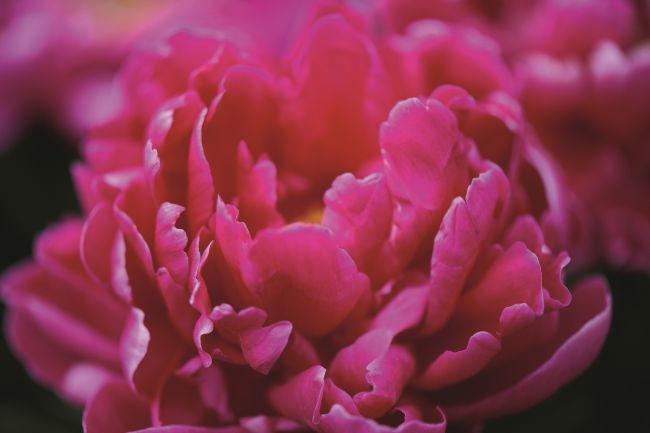 "The peony, the ""queen of flowers"