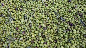 The Olive Harvest in Volx
