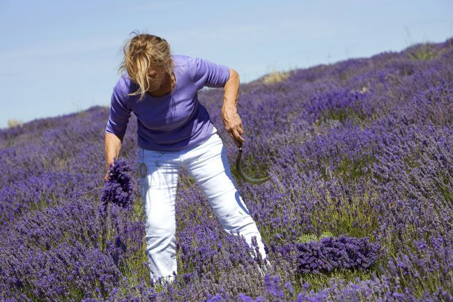 Lavender Harvest with Marguerite Blanc