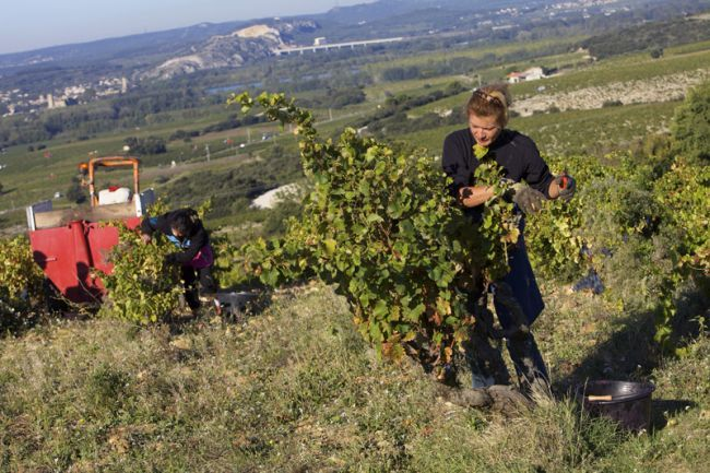 At the Heart of the Grape Harvest
