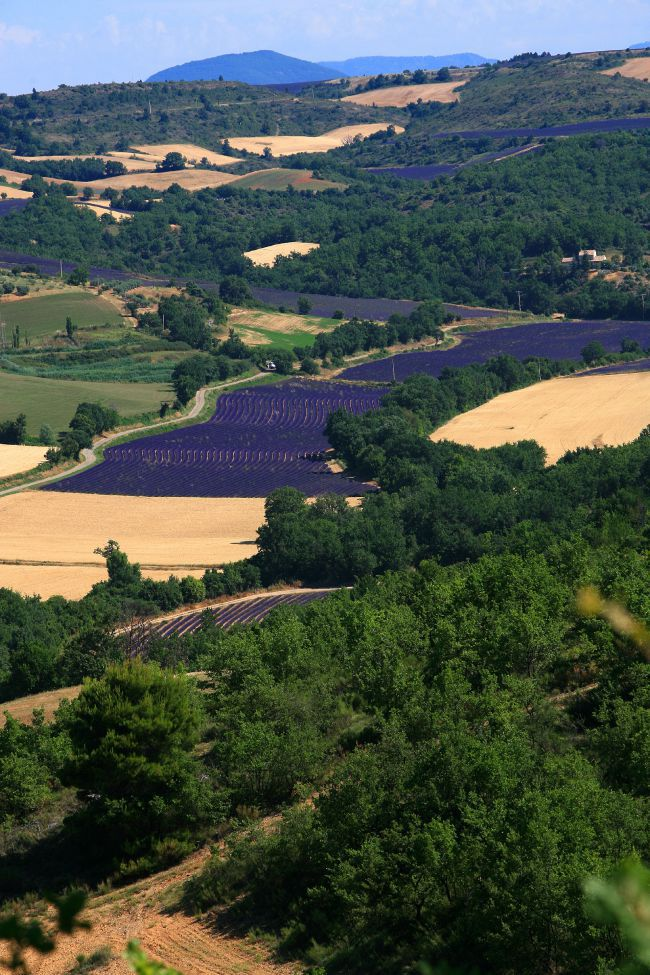 View of a lavender field