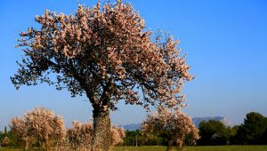 Almond Trees Return to Provence