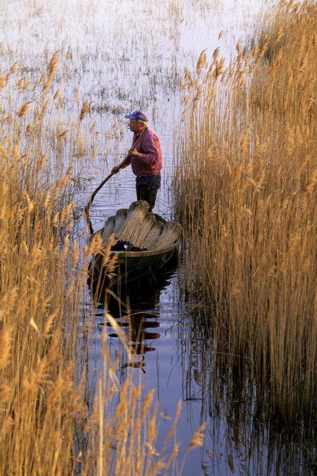 The Reed-Cutters of Camargue