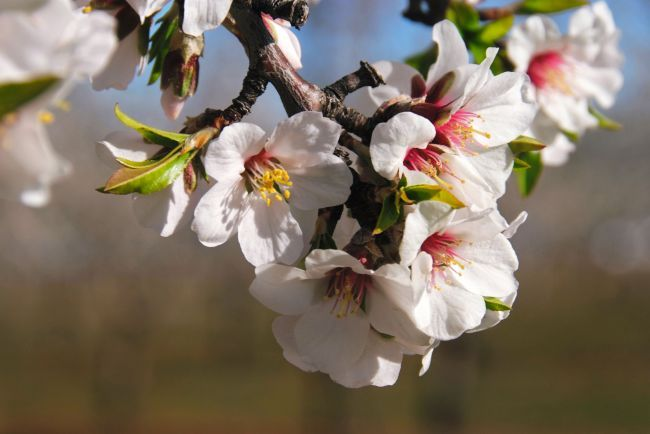 The almond tree blossom in Provence