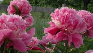 Blushing with Pleasure for Peony Season