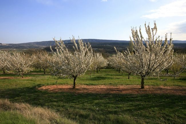 Saint-Saturnin les Apt, a cherry tree orchard