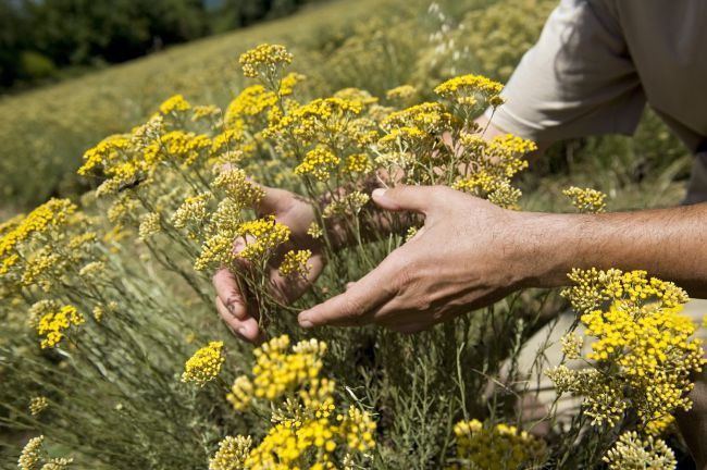 Behind the Scenes of the Immortelle Harvest in Corsica