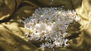 Orange Blossom, The Sweet Scent of Grasse Country