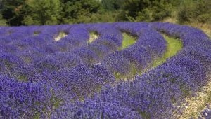 The Lavender Harvest with Marguerite Blanc