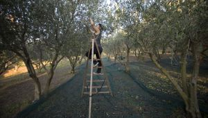 The production of olive oil, step by step