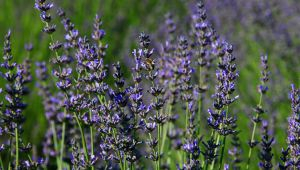 "The Exhibition ""100 Years of History of Lavender"" in Forcalquier"