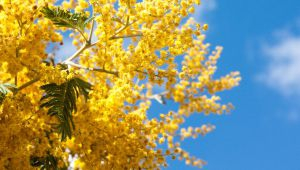 The Golden Mimosa, A Tree that Flowers in the Middle of Winter
