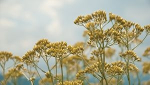 The Eternal 'Immortelle'