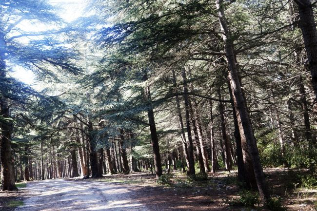 The Cedar Forest, An Enchanted Forest?