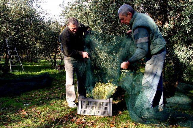 The olive-picking ritual