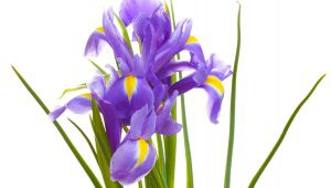 The Iris of Provence, une beautiful story