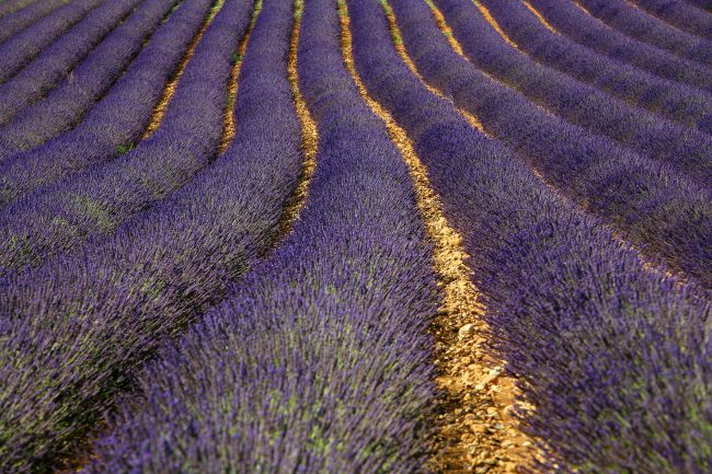 Research Advances on Protecting Lavender!