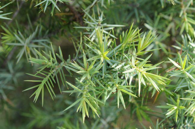 Cade: A Versatile Tree