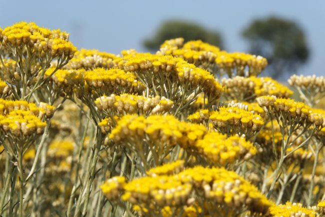 Immortelle fields
