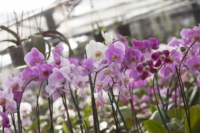 Michel Vacherot's Orchid Farm