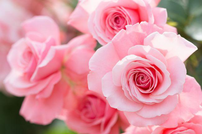 La rosa, reina de las flores