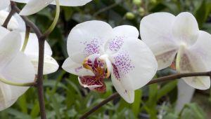 La orquídea y el nerolí, flores blancas y femeninas