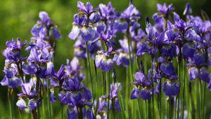 Iris pallida (lirio azul), el oro azul de la perfumería de Grasse