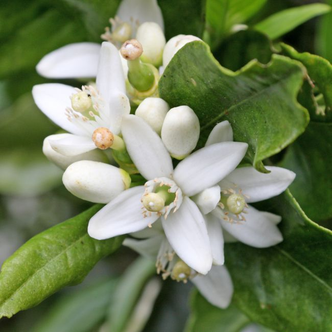 Fleur d'oranger, ode à la douceur provençale