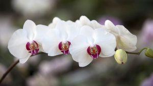 Visite de l'orchideraie Michel Vacherot!