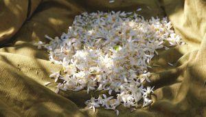 Fleur d'oranger, le doux parfum du pays grassois