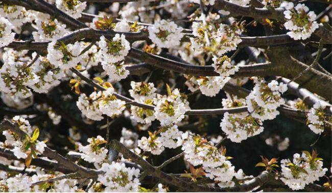 Les cerisiers de Provence