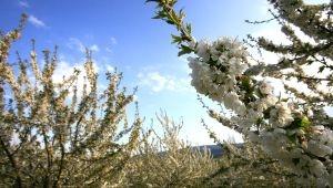 Saint-Saturnin les Apt, verger de cerisiers