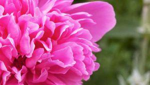 Pivoine Sublime : la nouvelle gamme à fleur de peau de L'Occitane